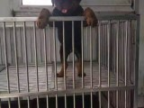 纯种幼犬出售赛级罗威纳宠物狗护卫犬 第三方交易