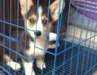 深圳出售纯种活体柯基幼犬宠物狗狗两色柯基三色柯