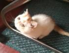 出售自家养的加菲猫