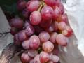 济南周边最好的葡萄采摘地