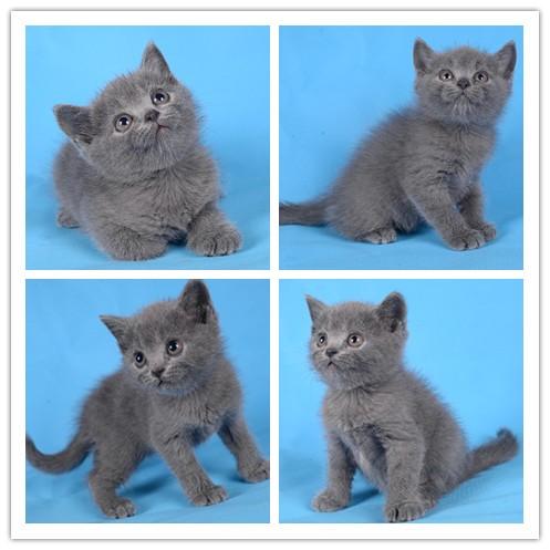 家养包纯种 加菲 布偶 蓝猫 金吉拉 波斯 常见品种都有加V