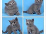 猫舍现有30多只各类纯种幼猫出售欢迎咨询可上门