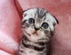 家养精品美国短毛猫/苏格兰折耳猫/根折/虎斑折耳猫