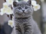 合肥包子脸蓝猫纯种英国短毛猫包子脸蓝胖子
