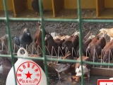 中国红西翁种鸽育种中心子代预定中
