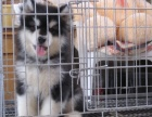重庆纯种熊版巨型阿拉斯加幼犬 体型憨厚 健康保障可送货