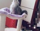 自己猫,金吉拉,健康,漂亮