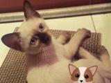 自家暹罗幼猫转让