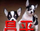 大兴繁殖出售2-4个月纯种赛级吉娃娃幼犬实物拍摄