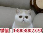 心语萌宠--渐层 加菲 短毛 金吉拉 折耳 蓝猫 暹罗