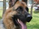 纯种德国牧羊犬 品相一流 保健康 可签协议 上门看狗