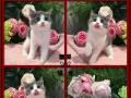 出售英短蓝猫银渐层 折耳等名猫幼猫活体包纯种包健康