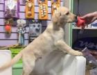 上门700一只 拉布拉多 包健康 包纯种 有多条狗狗挑选