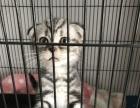 打包卖一公一母虎斑猫