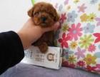泰迪熊幼犬,正规犬舍繁殖 赛级品质 包健康签协议