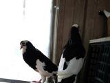 邳州华羽鸽业常年出售多种观赏鸽,多种大体形肉鸽,元宝,落地王