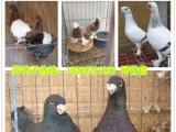 出售元宝鸽,淑女,天使,摩登那,点子,两头乌等各种观赏鸽