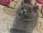 家养英短蓝猫,渐层,蓝加白 价格可爱