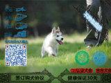 三把火双蓝眼哈士奇幼犬出售 纯血统 可视频挑选