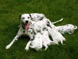 佛山 斑点狗,喜欢大麦町犬的朋友联系,三个月健康