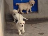 贵阳出售 纯种拉布拉多幼犬,包犬温细小,签订纯种健康
