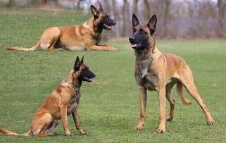 精品马犬 血统纯正品相好 兴奋度高 价格优惠 送狗狗用品