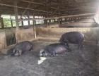 原生态土猪养殖基地