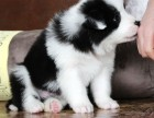 本地犬舍直销 纯种边牧幼犬 七白三通健康品质有保证