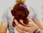 小型泰迪犬长不大的,小狗狗是自己家里喂养的泰迪犬。深红色、