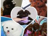 专业犬舍直接购买纯种小茶杯泰迪犬 保证纯度健康