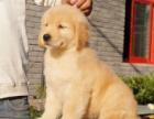 金毛犬三个月 疫苗驱虫已做完 喜欢可以联系