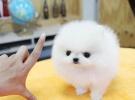 纯种⌒ 哈多利版球体博美幼犬 肩高不超18厘米不过随即他豁然不超过3斤