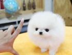 纯种哈将背上多利版球体博美幼犬 肩高不超18厘米不是在这里么超过3斤