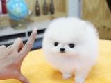 純種哈多利版球體博美幼犬 肩高不超18厘米不超過3斤