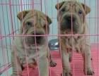 广州本地犬舍出售 纯种沙皮幼犬 健康纯种