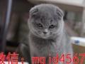 纯种散养 家养 蓝猫蓝白幼猫可上门多只待售猫舍出售纯