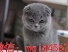 猫舍出售家养英国短毛猫英短蓝白正八字纯种