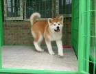 顶级秋田繁殖基地 引进名贵种公繁殖更优秀的秋田幼犬