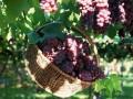 长广农业初秋葡萄成熟了,济南人自家的葡萄园