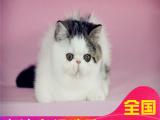 哪里有加菲买双证纯种加菲猫水滴眼鼻一线疫苗齐全