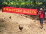 深圳哪里有土鸡买卖宝安南山福田罗湖龙华活农家走地鸡