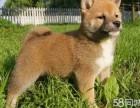 出售纯种健康的柴犬幼犬 忠诚活泼靓丽聪明