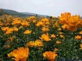大量出售金莲花种子,河北沽源坝上金莲花基地,价格优惠