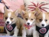 广州 出售纯种柯基幼犬 品相出众 签协议保健康