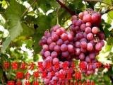 四川葡萄苗| 耐寒葡萄苗木|苗木网|中国