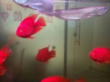观赏鱼种类 招财鱼龙鱼 观赏鱼鱼缸护理