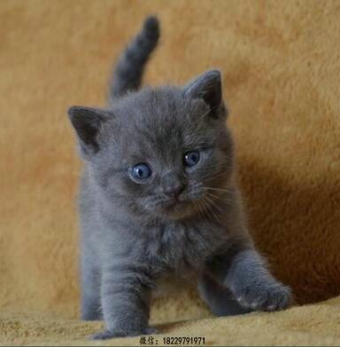 汕头蓝猫养殖出售 本地猫舍 蓝猫价格