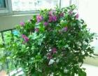 紫色三角梅花 1米多高 现价80元