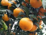 沃柑苗,晚熟耐贮杂柑