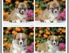 全年 一至今最畅销 柯基幼犬 好品质 有保障